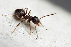 crni-mravi-2