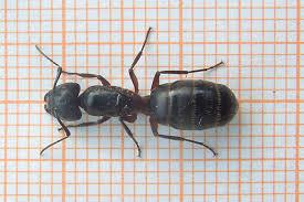 veliki-sumski-mrav-2